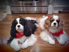King Charles Cavaliers. YES PLEASE! One of the best breeds ever!!
