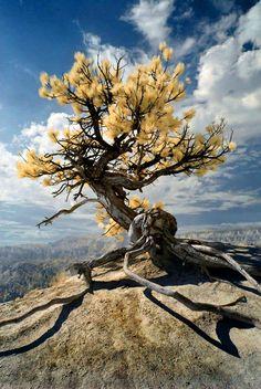 A true bonsai tree
