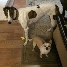Ari and Beamer looking at mom like, no way, not back to school time!  #greyhounds #galtx