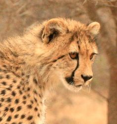 Cheetah Cub; Very Impressionable.