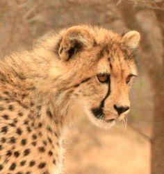 Cheetah Cub; Very Impressionable.