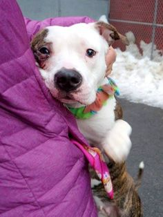 SAFE 03/28/15!  Was TO BE DESTROYED - 03/28/15 Manhattan Center -P  My name is DALLE. My Animal ID # is A1029291. I am a female br brindle and white am pit bull ter mix. The shelter thinks I am about 4 YEARS old. For more information on adopting from the NYC AC&C, or to find a rescue to assist, please read the following: http://urgentpetsondeathrow.org/must-read/
