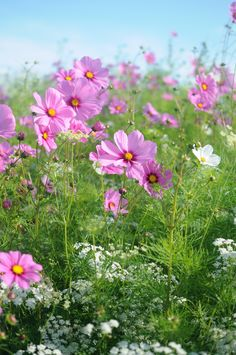 How about a meadow of cosmos?  I have found that cosmos are a cool weather flower.  While they grow profusely during a hot and humid Texas summer, they don't start blooming until the Fall when cooler weather arrives.