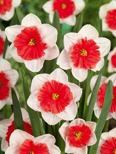 Narcissus √