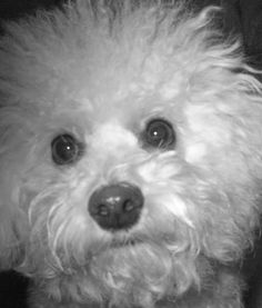 The very pampered Molly the Bichon Frise!