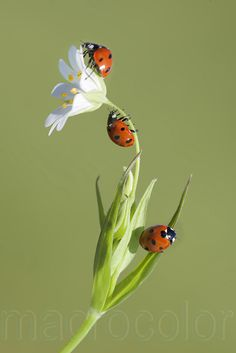 Lady Bugs Trio and a Flower☺