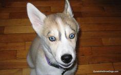 Husky Puppy Shelby plays Fetch FLASHBACK