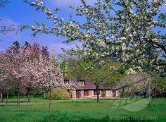 Orchards in Normandy, France