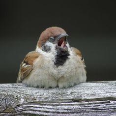 画像に含まれている可能性があるもの:鳥 Funny Birds, Cute Birds, Small Birds, Little Birds, Colorful Birds, Cute Baby Animals, Animals And Pets, Funny Animals, Bird Pictures
