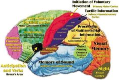 human brain and its' different areas of function