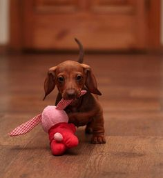I'm readyz - adorable Dachshund with a favorite toy!