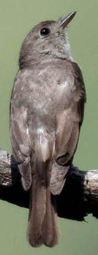 Asian Brown Flycatcher.