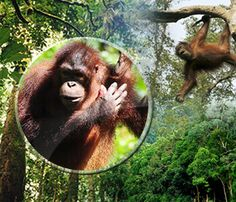 Malaysia has always been serious about conservation, but with the state of Sarawak's newly passed Forest Bill, Malaysia's commitment to conservation is soaring to new heights. This is great news for the Malaysian palm oil industry which champions responsible agricultural practices. The industry has also been fighting illegal deforestation for years through its Malaysian Palm Oil Wildlife Conservation Fund.