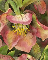 Botanical Illustration II: Working with watercolor   Horticulture Section