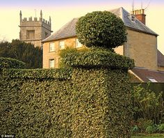 Guilty: The privet hedge, a symbol of suburban Britain could be responsible for wiping out ash trees