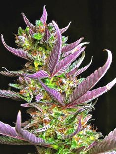Sweet Purple love #marijuana