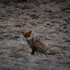 Hej på dig ! #Åmotsskogarna #åmotsbruk #räv #naturen #fox #skogen #vildadjur #wildanimals by johnnyolsson67