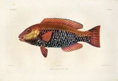 bicolor - high resolution image from old book. Rare Fish, Fish Print, Vintage Fishing, Pacific Ocean, Prints For Sale, Red, Animals, Animales, Animaux