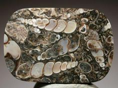 """""""Turritella"""" agate polished piece. A fossiliferous rock with pelecypods and gastropods. Source: Wamsutter Ridge, southwestern Wyoming, USA"""