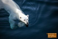 Swimming Polar Bear in Eastern Greenland