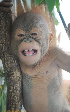 Jemmi, the other Baby Orangutan to be Budi's Buddy | International Animal Rescue