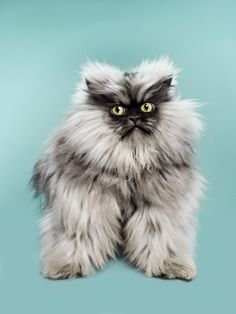 ➕➕R .I. P. ➕➕ Colonel Meow passed away yesterday evening.Colonel Meow OH QUEL CHAT EN PELUCHE ,,,,**+