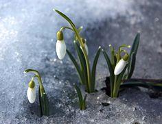 Первые весточки Весны... Cosmos, Garden, Snow, Gardens, Flowers, Garten, Lawn And Garden, Gardening, Outdoor