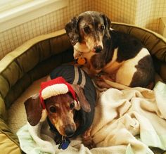 Ready to play in the snow!! Doxies hate winter! Hate wearing hats more! Pete and Howie staying warm in their bed.