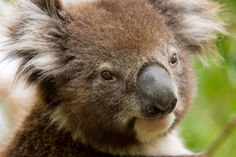 Fun family getaway for all creatures great & small in #Australia - kids are soon on holidays, book a #hotel, take a #roadtrip & visit these great animal friendly destinations! (Lone Pine Koala Sanctuary)