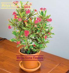 Euphorbia  Golden Gem. Rare! Home Flowers, Planter Pots, Gems, Rhinestones, Jewels, Gemstones, Emerald, Gem