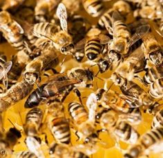 http://www.greenpeace.org/usa/sustainable-agriculture/save-the-bees/