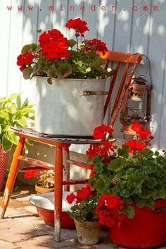House plants geraniums in pots front porches ivy geraniums bouture geranium essie geranium g Red Cottage, Garden Cottage, Farm Cottage, Cozy Cottage, Cottage Style, Farm House, Red Geraniums, Potted Geraniums, Potted Plants