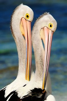 """""""A mighty fine bird is the pelican. His mouth can hold more than his belly can."""" Pelican Pair Poise Rottnest Island by Denis Glennon Pretty Birds, Beautiful Birds, Animals Beautiful, Cute Animals, All Birds, Love Birds, Especie Animal, Funny Commercials, Funny Ads"""
