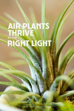 Some people wonder: Do air plants a lot of light? Air plants do need bright, indorect light. Learn the right-light sweet spot is for your air plants. Air Plants Care, Plant Care, Planting Succulents, Planting Flowers, Planting Vegetables, Air Plant Terrarium, Terrariums, Air Plant Display, Plant Lighting