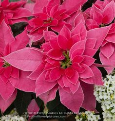 Luv U Pink Poinsettia © 2010 Patty Hankins You just have to love Patty's flower photography!