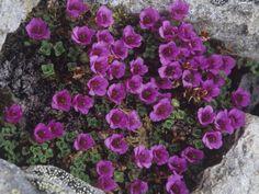 Purple Saxifrage, Saxifraga Oppositifolia, a Tundra Wildflower, Alaska, USA by Hugh Rose