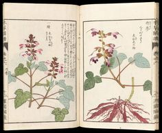 Honzô zufu 本草図譜  Japanese Edo period 1830 (Bunsei 7) Compiled by Iwasaki Kan'en (Tsumasa) (Japanese), Publisher Suharaya Mohei (Japanese)