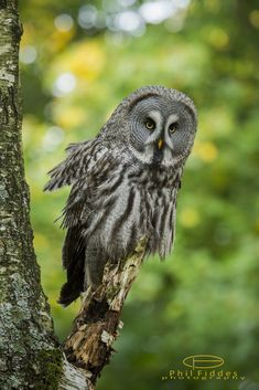 """funkysafari: """"Great grey owl by Phil Fiddes """" Animals Of The World, Animals And Pets, Cute Animals, Gray Owl Paint, Owl Pictures, Owl Pics, Owl Kitchen, Barred Owl, Great Grey Owl"""