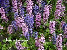 植えっぱなしOKの多年草(宿根草) …の画像 | キヨミのガーデニングブログ 長澤淨美のアメブロオフィシャルブログPow…