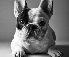 Socialcon | Manny the Frenchie #SocialCon