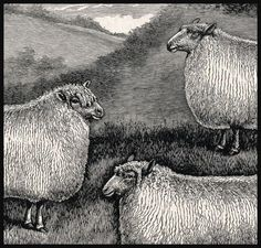Sheep breeds from an old livestock book.