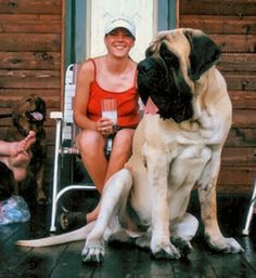 A veeerrryyy large bull mastiff - crazy to think that's actually a Dogs Huge Dogs, Giant Dogs, I Love Dogs, Baby Dogs, Pet Dogs, Dog Cat, Beautiful Dogs, Animals Beautiful, Mastiff Breeds