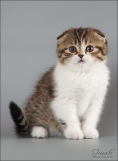 Scottish Fold Kitten - I'm dying this is adorable