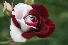 2. Osiria rose