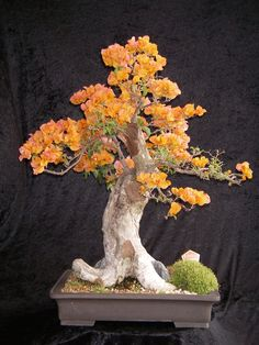 Bougainvillea Bonsai ~ Northside Nursery