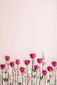 Pink roses on a pink background by Ruth Black for Stocksy United - Blumen Rosen - Flower Background Wallpaper, Flower Phone Wallpaper, Rose Wallpaper, Cellphone Wallpaper, Flower Backgrounds, Colorful Wallpaper, Nature Wallpaper, Wallpaper Desktop, Beauty Background
