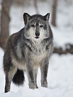 wolves-speedwell forge_0014 | Flickr - Photo Sharing!