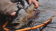 From monster brook trout, landlocked salmon, pike, and lake trout - this video by Exterus Outdoor Development has it all set to an epic soundtrack! River Lodge, Brookies, Fishing Videos, Trout, Fly Fishing, Soundtrack, Salmon, Journal, Outdoor