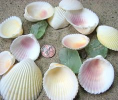 Sea Shells for Beach Decor  Cockle Seashells by beachgrasscottage, $4.00