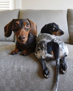 'Does my Bum Look Big in this?' - Indiana & Cheeky Reese the Minature Dachshund Dogs